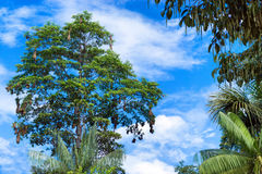 Tree Full of Bird Nests Royalty Free Stock Photography