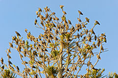 Tree full of birds. A tree is full of starling birds perched on every branch stock images