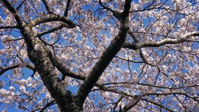 Tree In Full Blossom On Sunny Day. Tree in bloom with countless white blossoms stock video footage