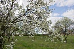 Tree full of cherry blossom Royalty Free Stock Photography