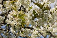 Tree full of cherry blossom Stock Photo