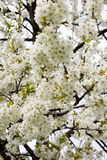 Tree full of cherry blossom Royalty Free Stock Images