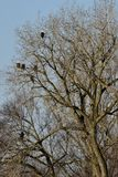 A Tree Full Of Eagles. This is a Winter picture of a tree with six bald eagles roosting in it along he Illinois River in Starved Rock State Park located in Utica Royalty Free Stock Image