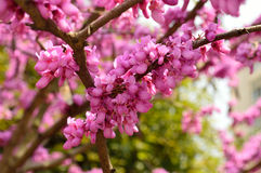 A tree full of flowers in full bloom in the spring Stock Photos