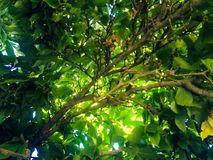 View from below of a tree full of green leaves. royalty free stock photography