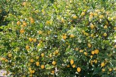Tree full of lemons Stock Photo