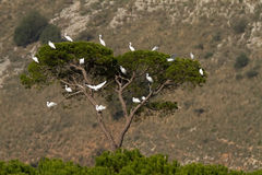 Tree Full Of Little Egrets Stock Photography