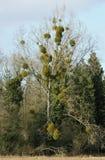 Mistletoe Tree Stock Image