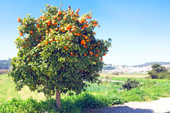 Tree full of oranges in spring time Royalty Free Stock Photography