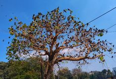 A tree is full of pigeon birds perched on every branch. A tree is full of pigeon birds perched on every branch,  with the beautiful blue sky stock photo