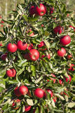 Tree full of red ripe apples Royalty Free Stock Images