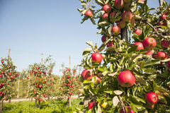Tree full of red ripe apples Royalty Free Stock Photo