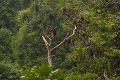 Tree full of roosting flying foxes Stock Photo