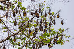 A tree full of roosting flying foxes Stock Photo