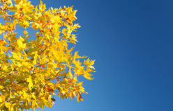 Tree full of yellow leaves Stock Images