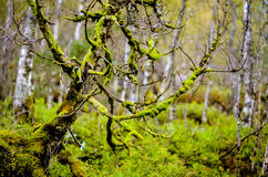 Tree fully grown with moss in forest Stock Image