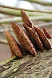 Tree fungi Royalty Free Stock Photos