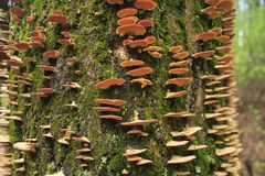 Tree Fungus Royalty Free Stock Images