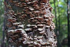 Tree Fungus. Closeup of some fungus growing on a tree Stock Photos