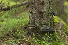 Tree Fungus. Black tree fungus on conifer trunk royalty free stock image