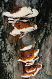 Tree fungus closeup Stock Photography