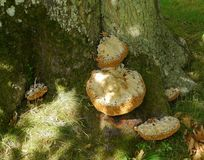 Tree fungus, in dappled sunlight. Tree fungus, grotesque shapes, seen in dappled sunlight at the base of a tree trunk royalty free stock photos