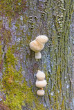 Tree Fungus in the Forest Royalty Free Stock Photography
