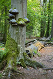 Tree Fungus In Green Forest Royalty Free Stock Photography