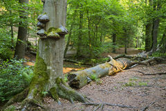 Tree Fungus In Green Forest Stock Photography