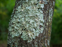 Tree fungus. A green fungus holds to an old tree royalty free stock image