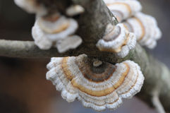 Bracket Fungi or Polypore Stock Images
