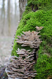 Tree fungus in natural environment with green moss around it. Royalty Free Stock Photo