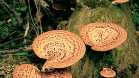 The tree fungus. Polyporus squamosus stock video footage