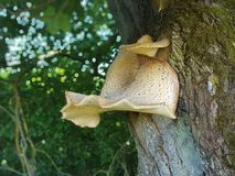 Tree fungus in spring. Beautiful tree fungus in spring on the edge of the forest royalty free stock image