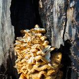 Tree fungus Royalty Free Stock Photography