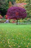 Tree In A Garden. Purple leafy tree in an open area of a garden of colorful foliage Royalty Free Stock Images