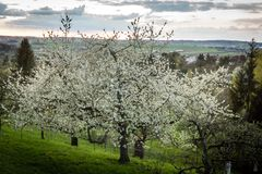 Tree in garden apple blossom sky sunset royalty free stock photography