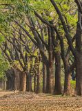 Tree row in garden Royalty Free Stock Images