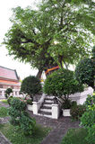 Tree in the garden of Wat Pho Royalty Free Stock Image