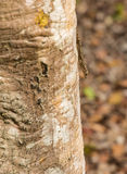 Tree Gecko head down on a log. A Tree Gecko Hemidactylus platycephalus climbing down a tree-log head-down in Kenya, East Africa Stock Images