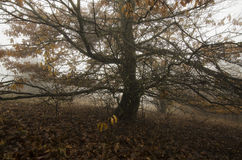 Tree with giant branches on meadow in autumn Royalty Free Stock Photos