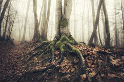 Tree with giant roots in mysterious Transylvanian forest Stock Images