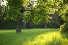 Tree on a glade in the sunlight Stock Photos