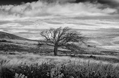 The tree. A gnarled old tree shaped by wind on the Big Island of Hawaii Royalty Free Stock Image