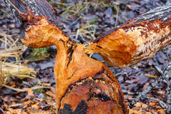 Tree gnawed by a beaver Royalty Free Stock Images