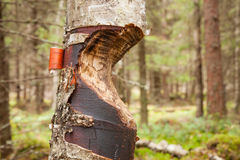 Tree gnawed by beaver Stock Images