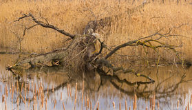 Tree gnawed by beaver Royalty Free Stock Image