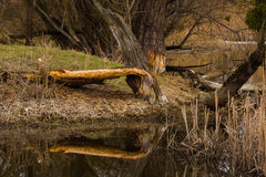 Tree gnawed by beaver Royalty Free Stock Photography