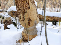 Tree gnawed by beavers Stock Image