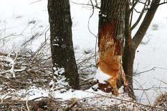 Tree gnawed by beavers at a frozen lake in winter.  Royalty Free Stock Photo